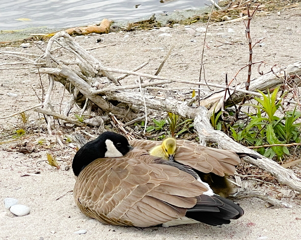 Mother Goose Snuggling Gosling Whitby, Ontario, CA