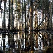 Marécage forestier