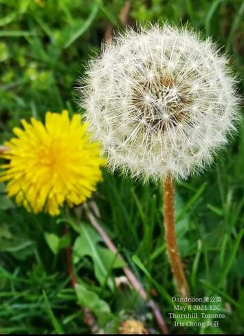 The last beauty! Dandelion Thornhill 12C May 8 2021 Thornhill, ON
