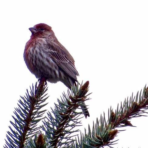House Finch Cornwall, ON
