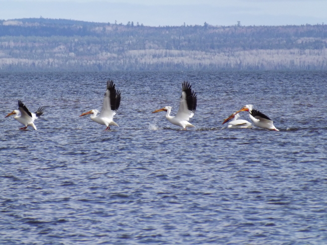 PELICANS PRACTISING TAKE OFF Black Bay Rd, Dorion, ON P0T, Canada