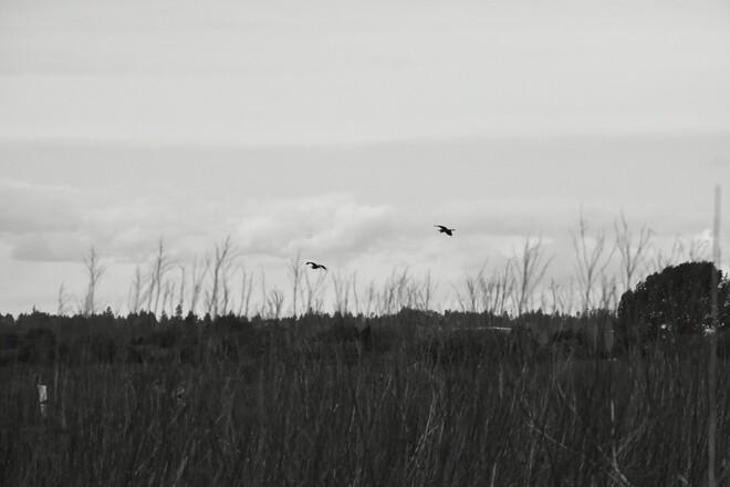 Herons @Boundary Bay Boundary Bay Regional Park, BC