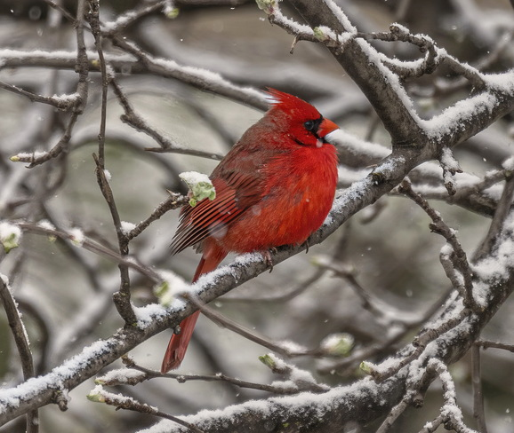 Snowy Cardinal Dorval, QC