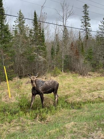 Moose Magnetawan, Ontario, CA