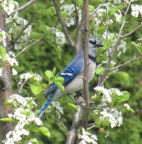 Blue Jay Kanata, Ottawa, ON