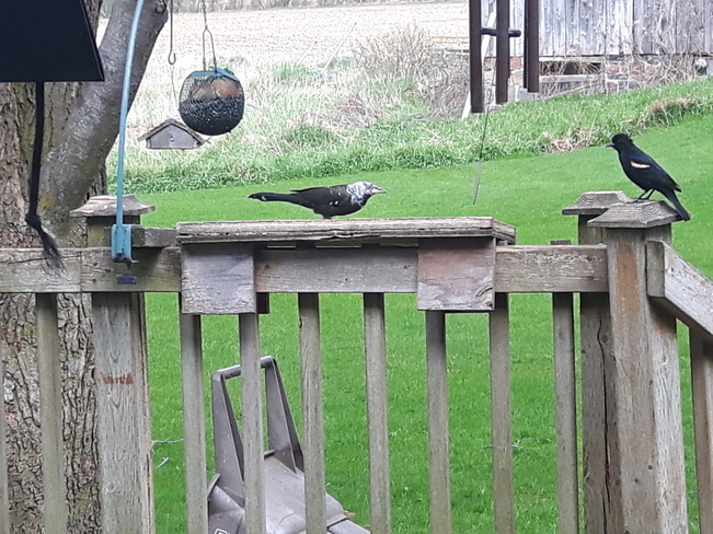 leucistic grackle and hungry chipmunk Sharon, ON