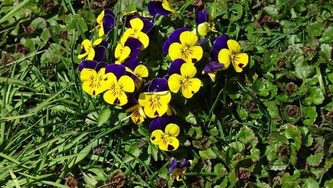Pansies In My Lawn Sudbury, ON