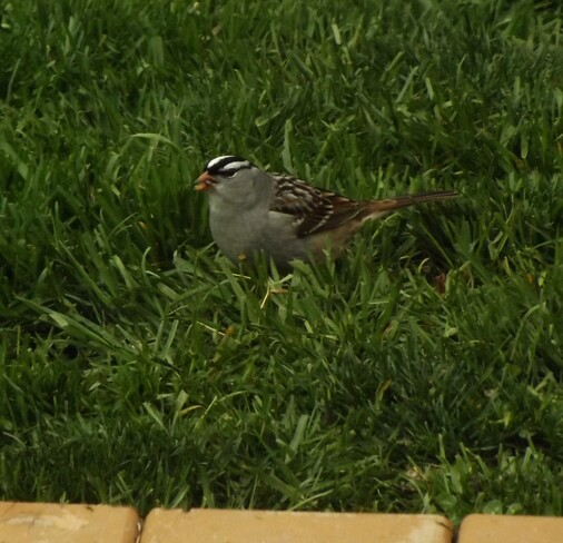 White Crowned Sparrow London, ON