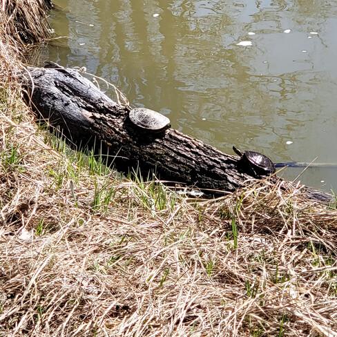 Turtles of all Sizes Winnipeg, MB