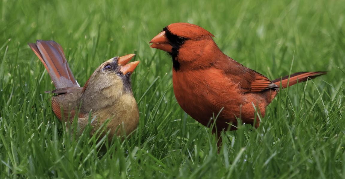Sweet Cardinals