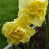 mystery daffodil