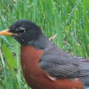 Robin in the backyard