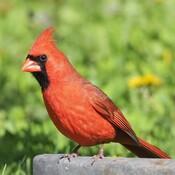 Cardinal de toute beauté