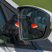 Red-winged Blackbird attacking himself in car side mirror.