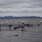 THIRTY THREE PELICANS on MONDAY