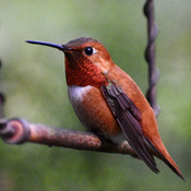 Many beautiful rufous hummingbirds!