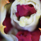 Macro flower bud unfolding