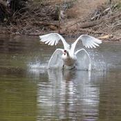 Rear 4 wing swan