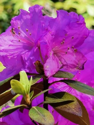 Rhododendron Montréal, QC