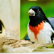 Read breasted Grosbeak