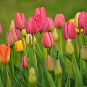 La saison des tulipes