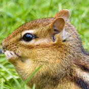 Chippy Chipmunk
