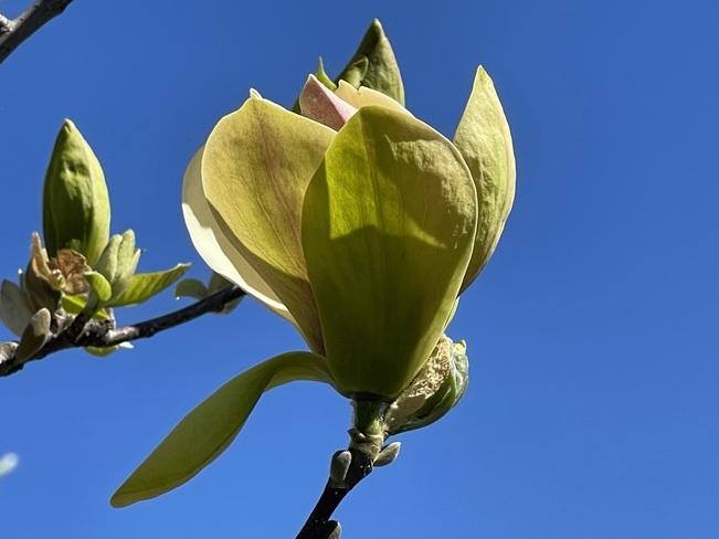 Yellowbird Magnolia Kingston, ON