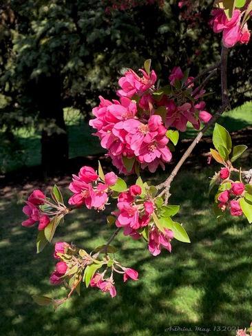 Flowering Crabapple Tree Loafers Lake, Brampton, ON