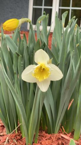 Fleur du printemps Sainte-Catherine, QC