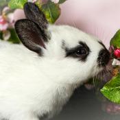 Bébé lapin et fleur de pommiers