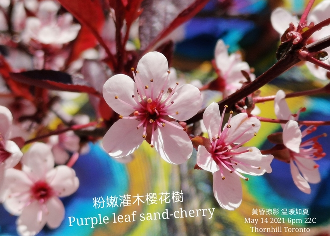 Summer feel 22C - Beautiful purple leaf sand-cherry Thornhill May 14 2021 Thornhill, ON