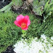 Pink tulip in Ottawa, Vanier