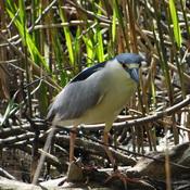 Black-crowned Night-Heron @ Grenadier Pond, Toronto, ON