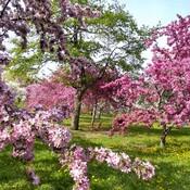 Tous les arbres sont en fleurs