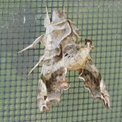 Un joli papillon de nuit