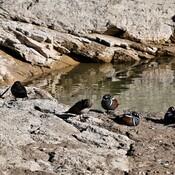 Harlequin Ducks in Kananaskis