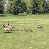 Family of geese on the golf course!