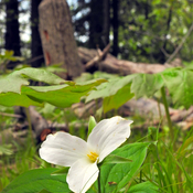 Trillium at Puslinch Lake 2