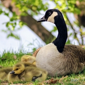 Mother goose and her goslings