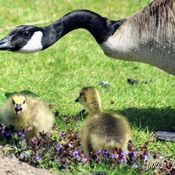 Goose and her goslings
