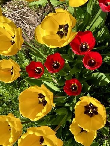 Tulipes Moncton, Nouveau-Brunswick, CA