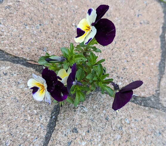 Pansies growing in the pavement Pierrefonds, QC