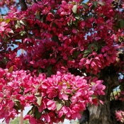 Wow! Summer feel 23C Crabapple tree in full bloom Thornhill May 16 2021