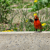 Cardinal au complexe sportif