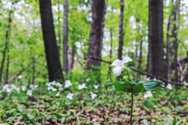 Trillium Grandiflorum Montréal, Québec, CA
