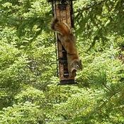 Squirrel figured out the no Squirrel bird feeder