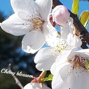 Cherry blossom - Japanese Canadian Cultural Centre - North York