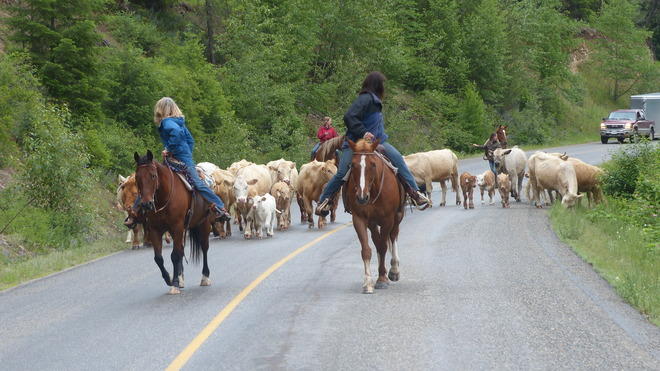 Cattle drive Grand Forks, BC