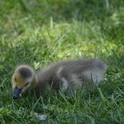 curious gosling