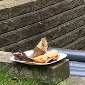 No bluff'n! This chipmunk loves this muffin